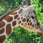 Masai giraffe has markings that look like oak leaves and are is as individual as our fingerprints