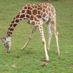 A Masai giraffe has markings that look like oak leaves and are is as individual as our fingerprints