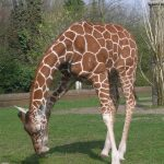 The reticulated giraffes are found only in northern Kenya