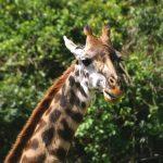 The reticulated giraffe has a dark coat