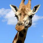 Reticulated giraffes have dark coats
