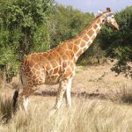 The reticulated giraffes, found only in Northern Kenya, have dark coats with a web of narrow white lines