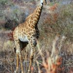 Reticulated giraffes, only found in Northern Kenya, have dark coats with a web of narrow white lines