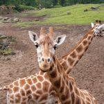 Giraffe's scientific name is Giraffa camelopardalis