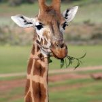 A reticulated giraffe has a dark coat with a web of narrow white lines while the Masai giraffe has patterns like oak leaves