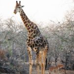 The reticulated giraffe has a dark coat with a web of narrow white lines while Masai giraffe, from Kenya, has patterns like oak leaves
