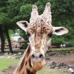 The giraffe is born with its ossicones