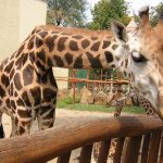 Both female and male giraffes have horns and are not called horns but 'ossicones'