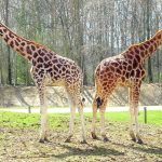 The giraffe is born with its horns that are formed from ossified cartilage
