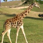 A giraffe is born with its horns that are formed from ossified cartilage