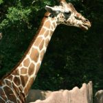 Giraffes are born with their horns that are formed from ossified cartilage