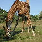 Giraffe is born with its ossicorns that are formed from ossified cartilage