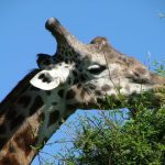 The giraffe is born with its horns but are not attached to the skull