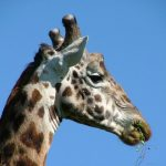 Giraffes are born with their horns but are not attached to the skull