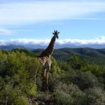 The giraffe is born with its horns called 'ossicorns' but are not attached to the skull