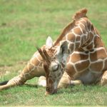 Giraffes are born with their horns known as 'ossicorns' but are not attached to the skull