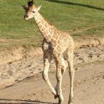 The giraffes are born with their horns known as 'ossicorns' but are not attached to the skull