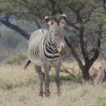 A zebra is a brave animal