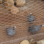 Guinea fowls are endemic to Africa