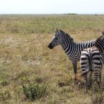 The camouflage hypotheses of the evolution of zebra's stripes has been contested because the predators of a zebra are more likely to have heard or smelled a zebra
