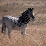 Maneless zebra is a type of plains zebra