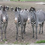 Predators and biting insects are confused by the stripes of a moving zebra by motion dazzle