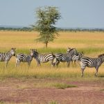 Zebra's eyes give it a wide field of view