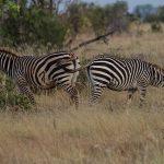 In certain regions of Kenya, fertile hybrids occur between Grevy's zebra and plains zebras
