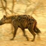 In Kenya you visit the wildlife in their homes