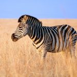 Zebra is closely related to asses, horses and donkeys