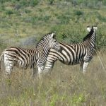A group of zebras standing or moving together appear as one mass of flickering stripes to the predators making it more difficult for the predators to pick out a target
