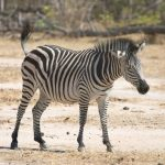 Chapman's zebra is a type of plains zebra
