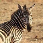 Equus zebra is the scientific name of Mountain zebra