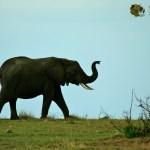 Elephants often raise its trunk when trumpeting