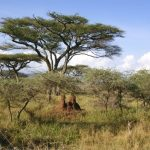 Earlobe ceremony is called Enkigerunoto oo-inkiyiaa in Masai language