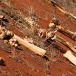 Earlobe ceremony is known as Enkigerunoto oo-inkiyiaa in Masai language