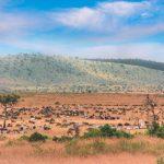 Masai Mara, Kenya 1995 - large Herds of Wildebeest and Zebras. Scanned analogue Film Shot