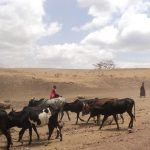 Maasai families live in enclosures called Enkang that are protected by fences or bushes with sharp thorns