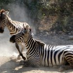 "The name ""zebra"" dates back to c. 1600"