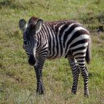 The three species of zebras are the plains zebras, the Grevy's zebra, and the mountain zebras