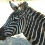 Quagga became extinct in the 19th century