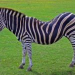 Zebra is closely related to donkeys, horses, and asses