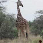 Giraffes belong to the Animalia kingdom