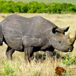 A rhinoceros is an odd-toed ungulate in the family of Rhinocerotidae