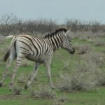 Equus grevyi is one of the species of zebra