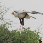 The secretarybird is a very large terrestrial bird of prey