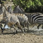 The predators of a zebra cannot see well at a distance and are likely to have heard or smelled a zebra, especially at night