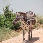 A zebras resembles an ass