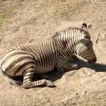 Zebra belongs to Perissodactyla order