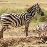 Grevy's zebras have narrow long heads